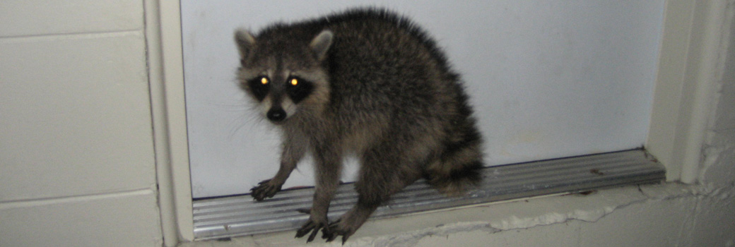 how to get rid of raccoons in garbage